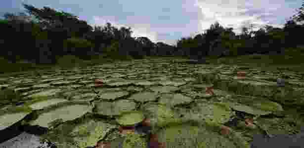 Vitória-régia no pantanal do Mato Grosso - Carl de Souza/AFP - Carl de Souza/AFP