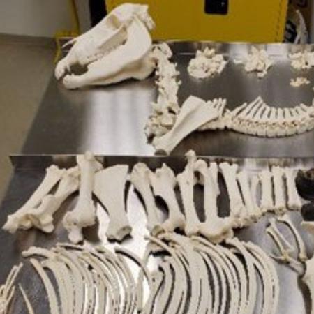 Esqueleto de cavalo encontrado por funcionários do sistema de correio da Flórida, nos EUA  - Reprodução/@DFOFlorida/Twitter