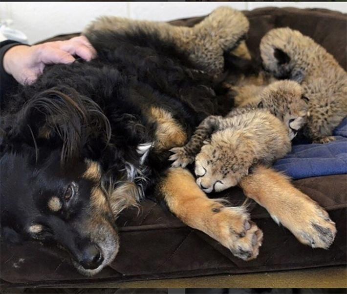 """28.mar.2016 - Um cachorro solidário a guepardos que perderam a mãe """"adotou"""" cinco filhores, no Zoológico de Cincinnati, EUA. O novo """"pai"""" tem mantido os animais aquecidos com a ajuda de tratadores"""