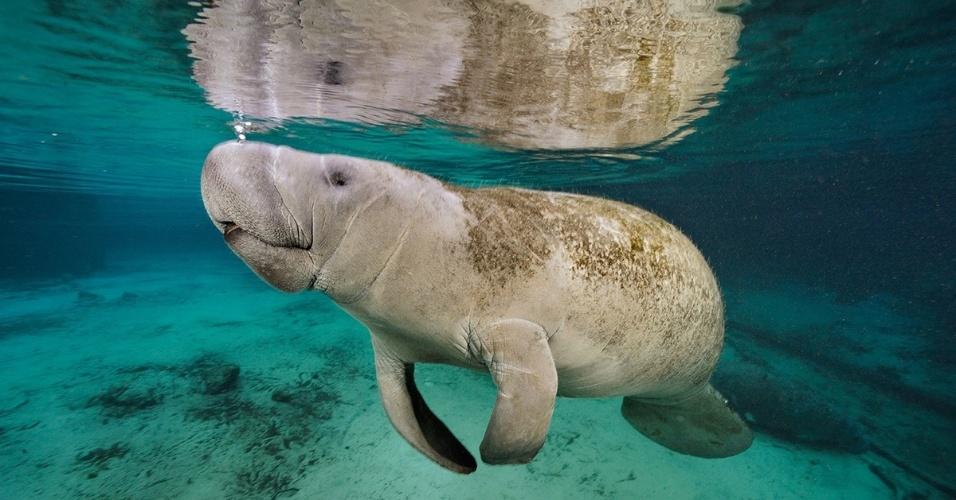 17.mai.2016 - Um peixe-boi vai à superfície para respirar. O mamífero marinho é um primo do elefante na água: grande e cinza, mas equipado com barbatanas e rabo achatado, ao invés de tromba e pernas fortes