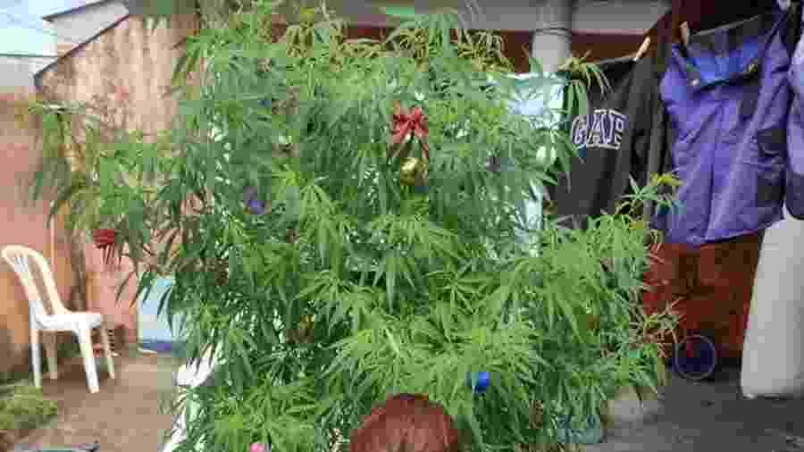 Árvore de Natal de maconha foi apreendida pela Polícia Militar do Espírito Santo - Divulgação/Polícia Militar