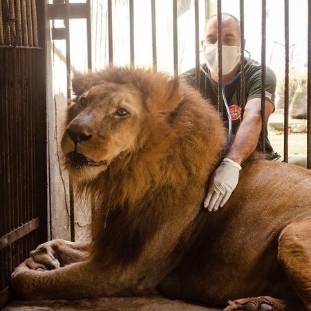 O leão Léo e o veterinário Dênisson Souza: amizade - Lu Rocha/Semas-PE