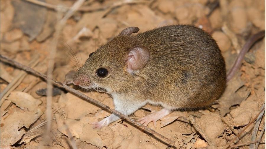 Necromys lasiurus, ou ratinho do cerrado, é um dos que transmitem o letal hantavírus - Wagner Machado Carlos Lemes