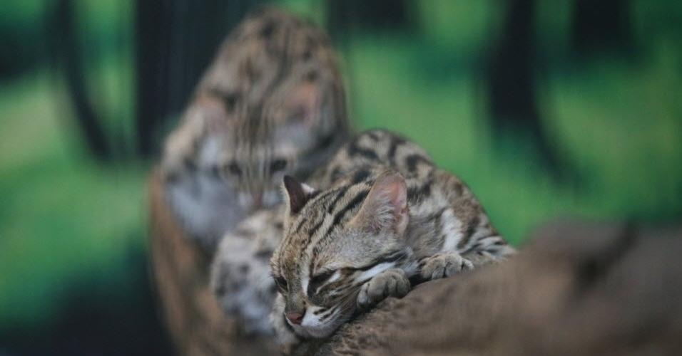 8.jan.2016 - Dois filhotes de leopardo descansam em galho de árvore do parque de vida selvagem de Hlawga, em Mianmar