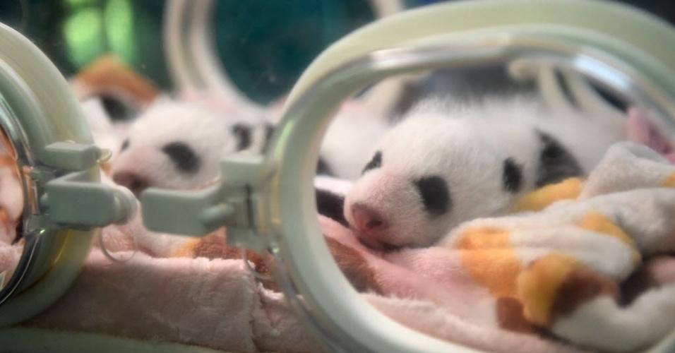 11.ago.2016 - Gêmeos de panda gigante Da Shuang e Xiao Shuang recebem cuidados especiais em zoológico da China
