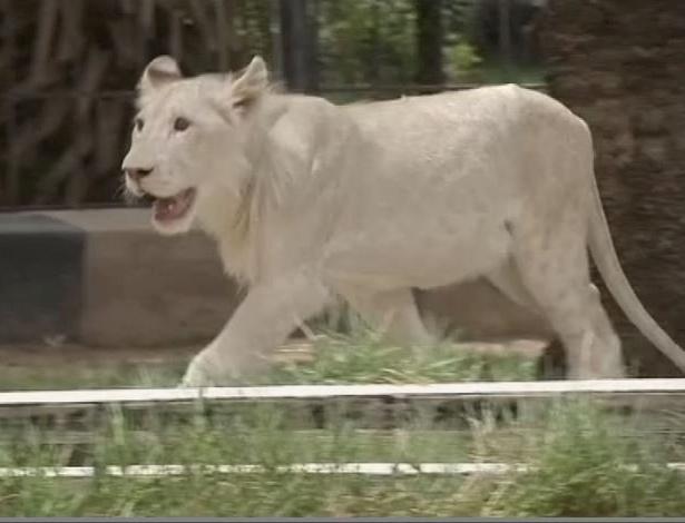 28.jun.2017 - Leão branco no zoológico Al Zawra, em Bagdá (Iraque)