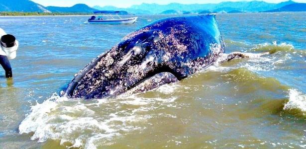 Baleia jubarte encalhada na costa sul do RJ - Divulgação/MAQUA-UERJ