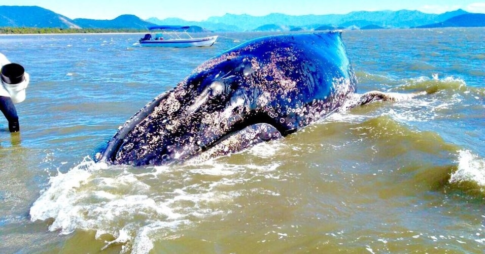 Baleia-jubarte encalhada na costa sul do RJ