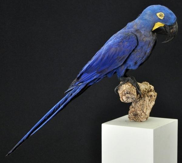 Maior arara do mundo em coleção do Museu Nacional, no Rio