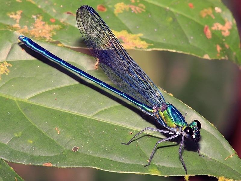24.mai.2016 - Umma gumma: Uma das 60 espécies de libélulas e cavalinho do diabo descobertos na África. Seu nome e seu gênero combinados coincide com o título do disco Ummagumma do Pink Floyd, que, no jargão de Cambridge, significa fazer o amor