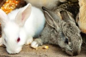 Assassino em série de coelhos aterroriza cidades do noroeste da França (Foto: Getty Images/iStockphoto)