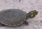 Como esforços na Amazônia brasileira estão salvando tartarugas da extinção - Camila Ferrara/Divulgação