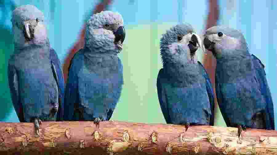 Ararinha-azul - Getty Images