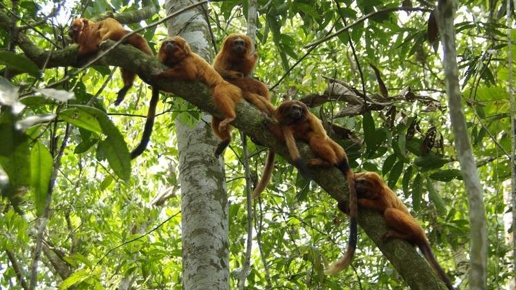 mico - Divulgação - Divulgação