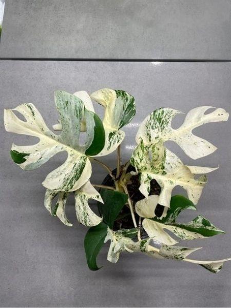 Planta tem oito folhas e a nova está a florescer - Reprodução/Trade Me