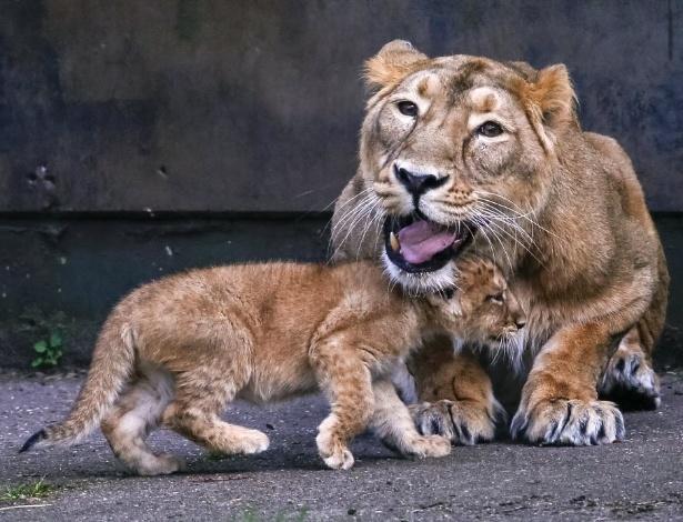 30.mar.2016 - Filhote de leão asiático passeia com a mãe Lorena em sua primeira aparição ao público no Parque Planckendael em Mechelen, Bélgica