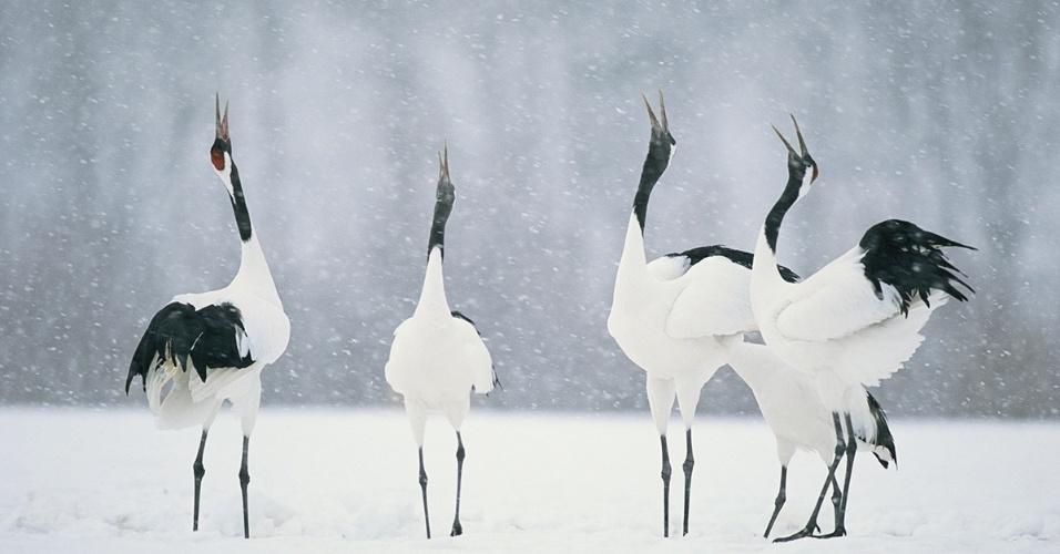 Garças dançam para atrair os parceiros em Hokkaido, Japão. Um símbolo japonês de longevidade e felicidade, as garças se preparam no inverno para época de procriação