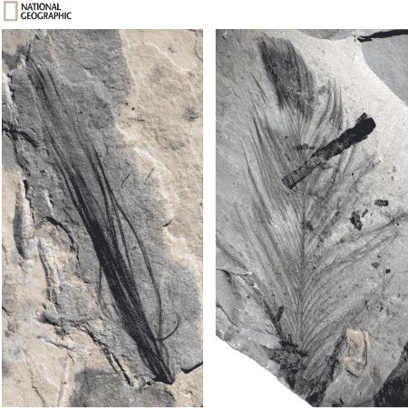 Penas fossilizadas são encontradas na Austrália - Reprodução/NatGeo/MELBOURNE MUSEUM