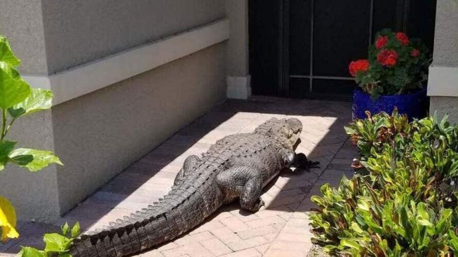 Jacaré surgiu na entrada de uma casa na Flórida, nos Estados Unidos  - Mike Ninowski/Reprodução