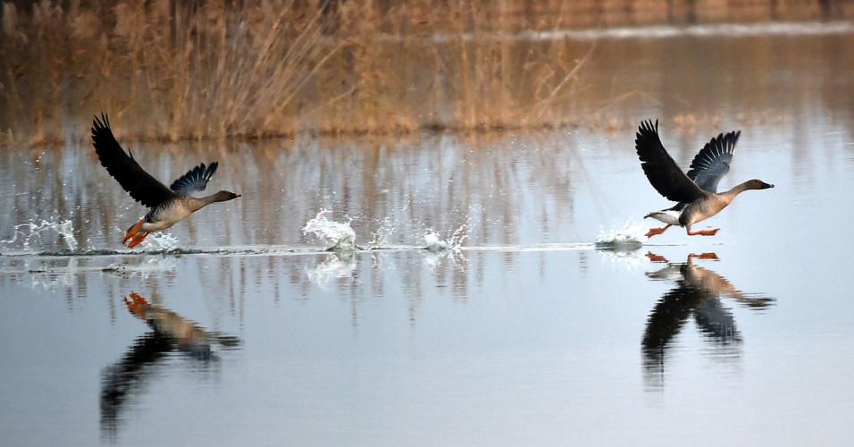 7.nov.2016 - Gansos selvagens voam na reserva natural do pantanal de Qingtongxia, em Wuzhong, na China