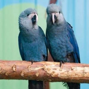 Ararinha-azul era considerada extinta