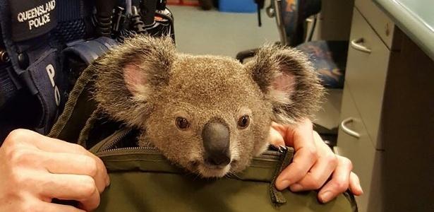 Normal carregar um coala numa bolsa, né? Só que não!