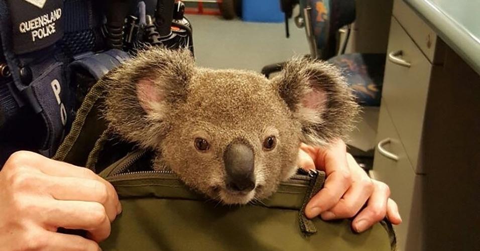 7.nov.2016 - Policiais encontraram uma mulher andando com um filhote de coala dentro da bolsa, em Brisbane, Austrália. A mulher foi detida e o animal, que recebeu o nome de Alfred, entregue a Sociedade Protetora dos Animais