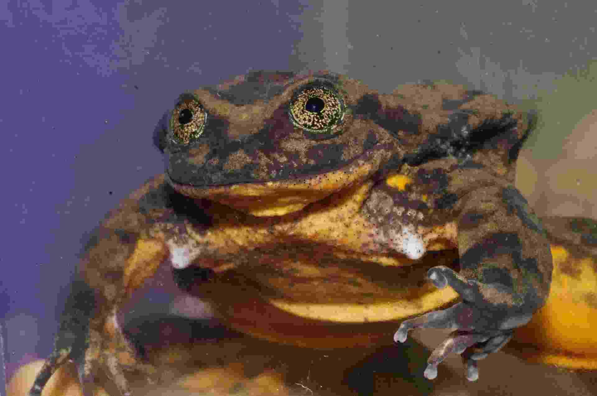 Romeo vive no Museu de História Natural de Cochabamba e tem poucos anos de vida para conseguir salvar sua espécie - Matias Careaga/Global Wildlife Conservation/AFP