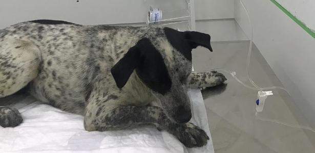 A vira-lata Pintada durante atendimento em clínica na zona norte de SP