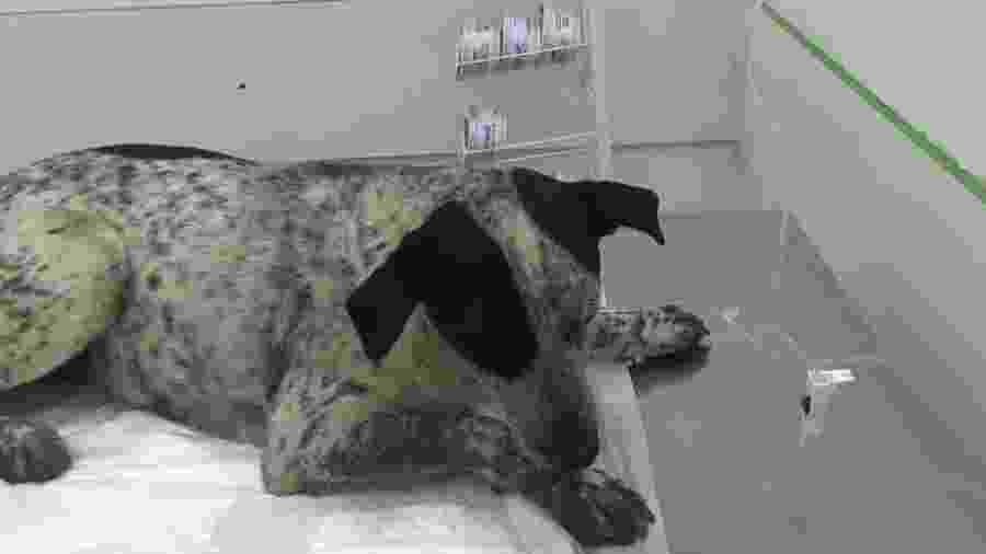A vira-lata Pintada durante atendimento em clínica na zona norte de SP - Divulgação/PM
