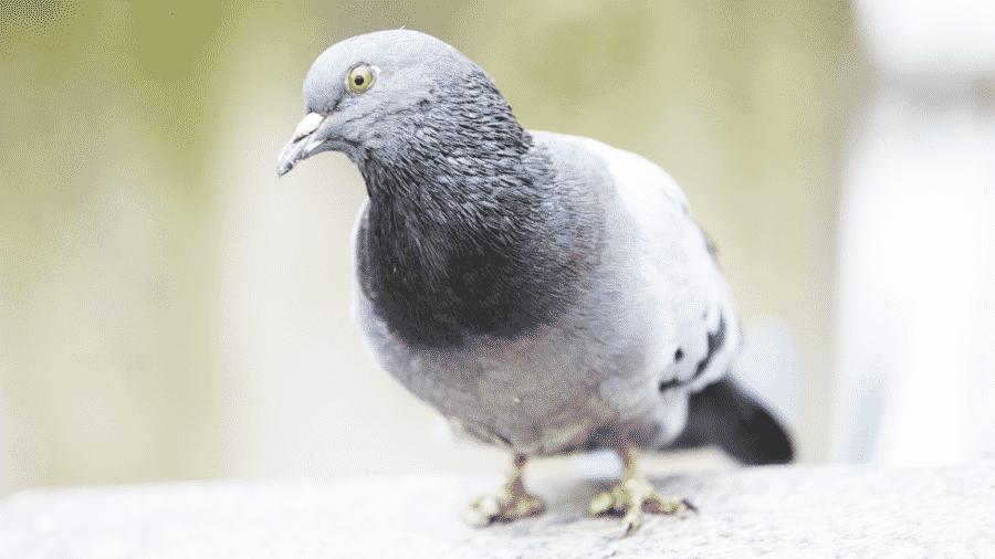 As mutilações nos dedos dos pombos são causados pela ação humana segundo o pesquisador francês Frédéric Jiguet - Getty Images
