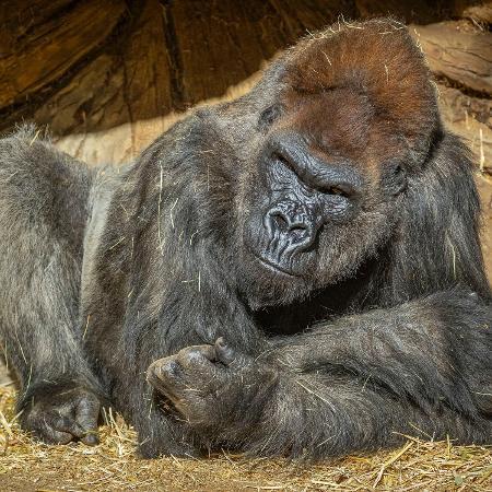 """Winston, de 48 anos, foi um dos gorilas do """"San Diego Zoo"""" que testou positivo para a covid-19 em 11 de janeiro - KEN BOHN/AFP"""