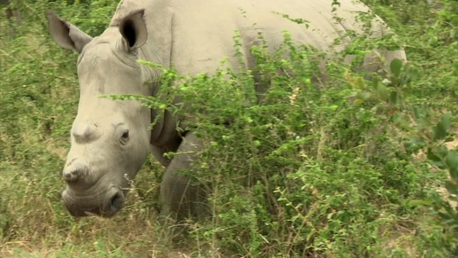 Iniciativa pode ser uma das únicas esperanças do rinoceronte branco - BBC