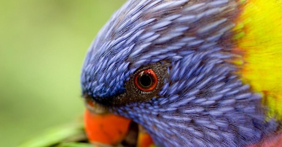 5.jan.2016 - Um lório arco-íris limpa suas penas. O papagaio de tamanho médio é nativo da Austrália e facilmente reconhecido por sua plumagem.