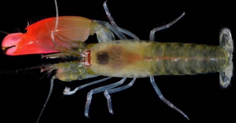 12.abr.2017 - Uma nova espécie de camarão marinho foi batizada em homenagem à banda Pink Floyd graças a um pacto entre cientistas que o descobriram, que são fãs de rock. O Synalpheus pinkfloydi usa sua grande garra para gerar um barulho tão alto que é capaz de matar peixes pequenos