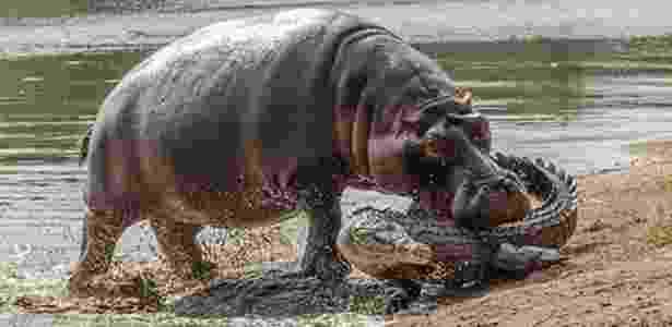 Hipopótamo fêmea ataca crocodilo para defender filhote em parque na África do Sul - Reprodução