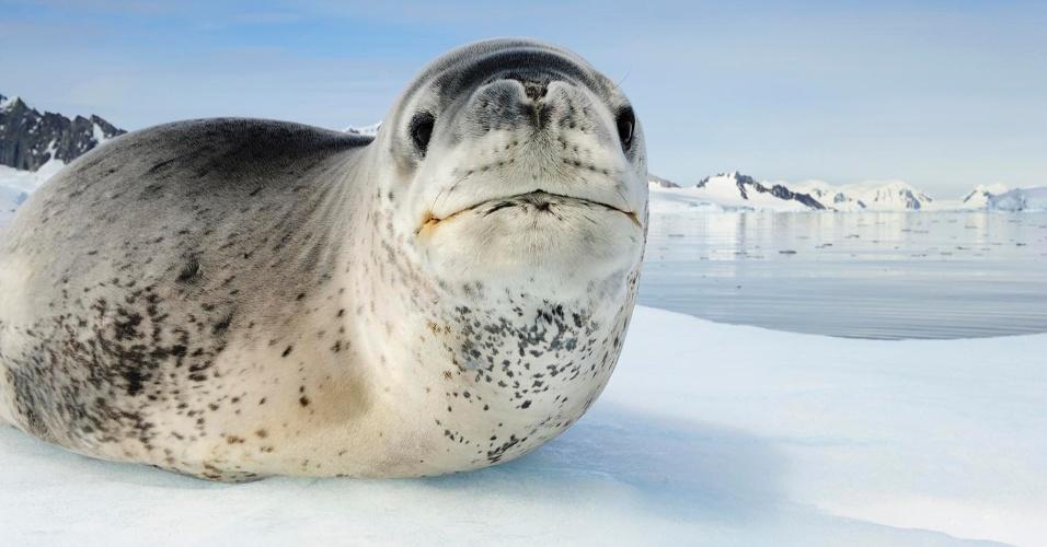 Uma foca-leopardo descansa num bloco de gelo na Antártica. Eles podem parecer fofos, mas são predadores violentos, perdendo apenas para as baleias na cadeia alimentar local