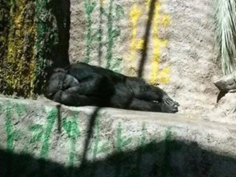 4.nov.2016 - A Justiça da Argentina determinou que Cecilia, uma chimpanzé do zoológico de Mendoza, é um 'sujeito de direito não humano', graças a um habeas corpus solicitado por uma associação de defesa dos animais, razão pela qual será transferida a um santuário natural no Brasil, informaram nesta sexta-feira fontes judiciais