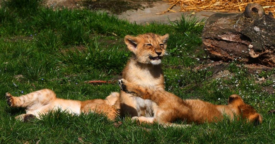 4.abril.2016 - Filhotes de dois meses de leões asiáticos brincam no Zoológico de Planckendael, em Mechelen, na Bélgica. Em 2000, a União Internacional para a Conservação da Natureza colocou o leão asiático na lista de espécies ameaçadas de extinção