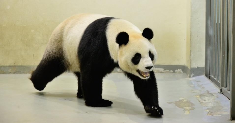 29.fev.2016 - Panda gigante Yuan Yuan anda no zoológico de Taipé, em Taiwan . O animal foi inseminado artificialmente depois que uma falha na tentativa de acasalamento natural com o macho Tuan Tuan