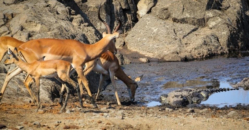 """4.abr.2016 - """"Vários grupos haviam chegado para beber água - e havia um filhote de crocodilo em um lado do lago. Ele nadou para perto e se posicionou com a cabeça perto da margem"""""""