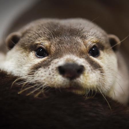 Lontra que vive em um café especializado em lontras, no Japão - Noriko Hayashi/The New York Times