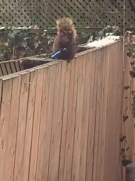 Esquilo segura faca em gravação feita por Andrea Diamond, de Toronto, no Canadá - Reprodução/Twitter/@asdiamond