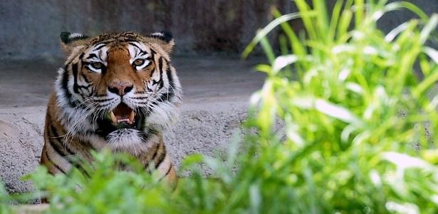 Apenas seis especies de tigres ainda podem ser encontradas na natureza: o siberiano, o de-bengala, o do-sul-da- China, o de-Sumatra, o indochinês e o malaio - Tiziana Fabi/AFP