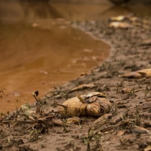 Rio de lama oriundo do rompimento de barragens deixou rastro de peixes mortos pelo caminho