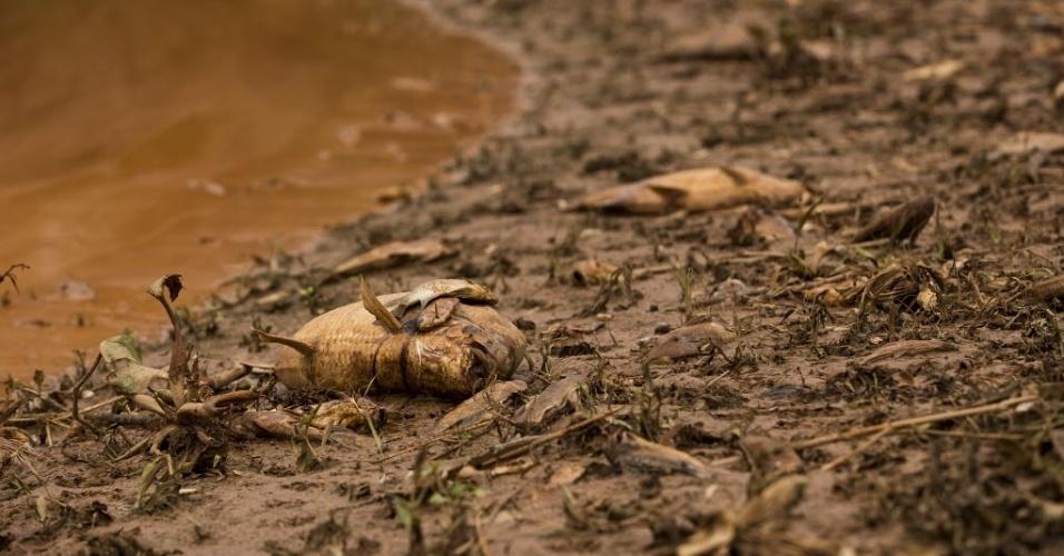 15.nov.2015 - Rio de lama oriundo do rompimento de barragens deixa rastro de peixes mortos pelo caminho. Na foto, de 15 de novembro, fauna de Resplendor, em Minas Gerais, é afetada pela lama.