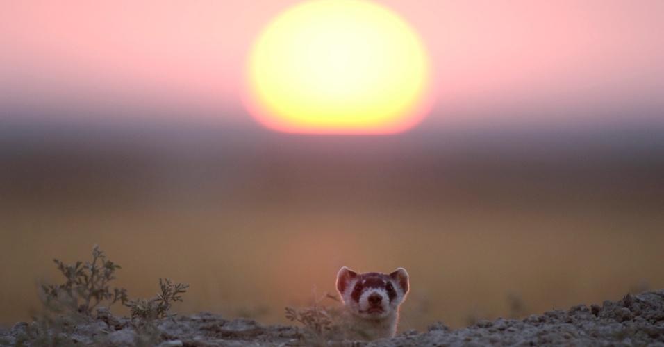 26.mai.2016 - Um furão espia fora da toca ao pôr do sol. A espécie consegue passar por lugares estreitos graças ao corpo comprido e estreito