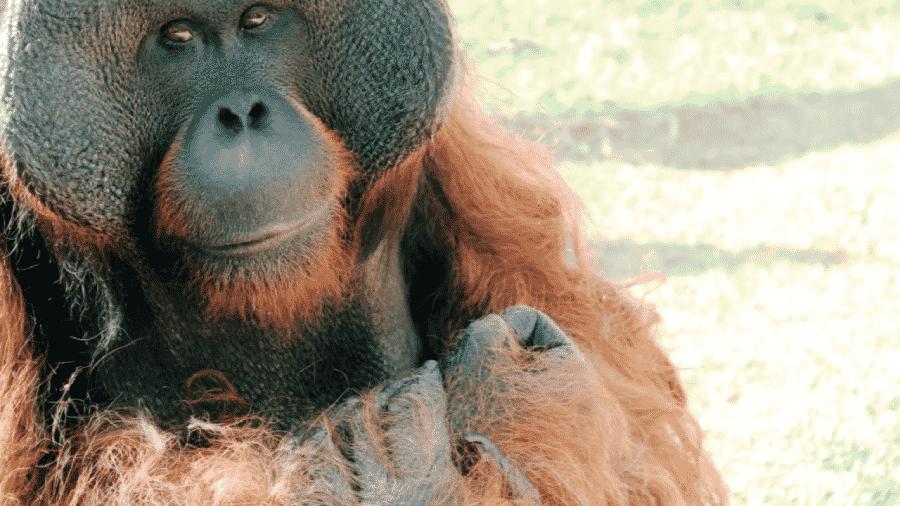 O orangotango Sansão no Zoológico de São Paulo - Reprodução/Facebook Zoológico de São Paulo
