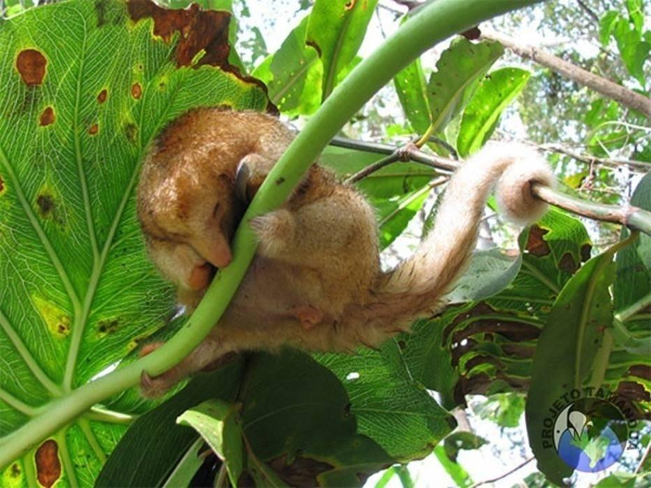 Uma equipe de cientistas brasileiros descobriu seis novas espécies do tamanduá-anão, um mamífero que vive nas florestas tropicais da região amazônica e da América Central. Faram analisadas 33 amostras de DNA e examinadas mais de 280 espécimes do raro mamífero em coleções de museus de diversos países.