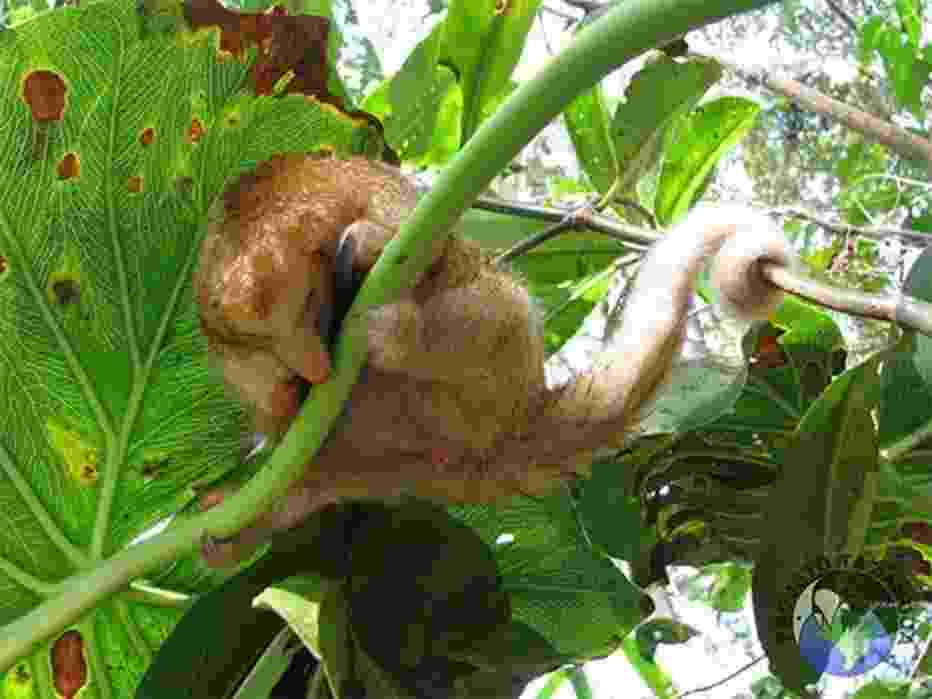 Uma equipe de cientistas brasileiros descobriu seis novas espécies do tamanduá-anão, um mamífero que vive nas florestas tropicais da região amazônica e da América Central. Faram analisadas 33 amostras de DNA e examinadas mais de 280 espécimes do raro mamífero em coleções de museus de diversos países. - ONG Projeto Tamanduá